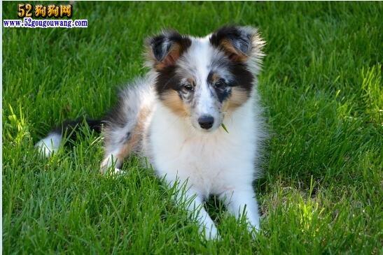 喜乐蒂多少钱一只幼犬?喜乐蒂价格详解!