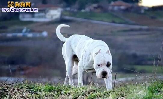 北京杜高犬价格、北京纯种的杜高犬多少钱一只图片?