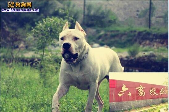 杜高犬幼犬、怎么挑选杜高犬幼犬?