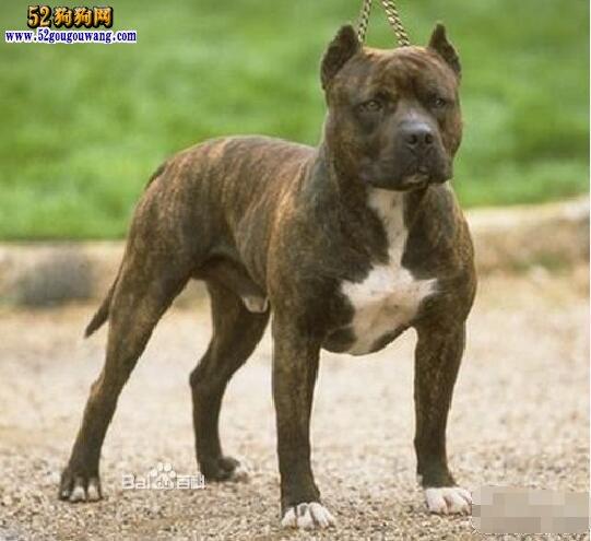 美国比特犬图片
