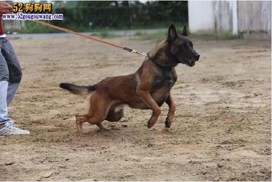 马犬vs狼青、狼青犬和马犬哪个厉害?