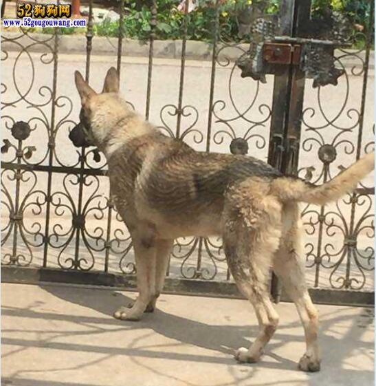 狼青怎么训练?喜欢咬人的狼青犬怎么训练?