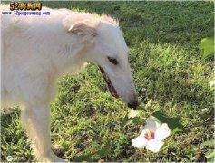 见过31厘米长鼻子的狗狗吗?美国
