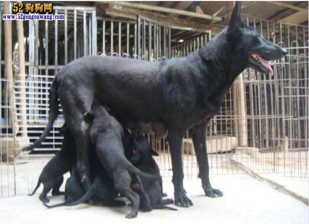 黑狼犬幼犬出售最新价格行情