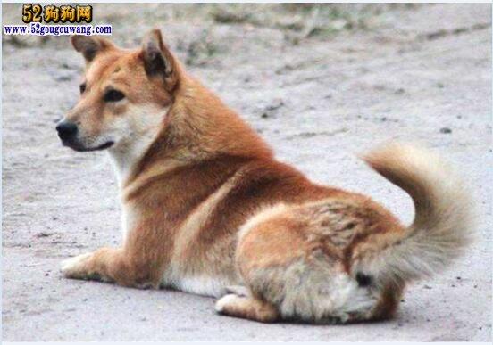 """中国田园犬、""""国犬""""中华园田园犬真的那么差吗?"""
