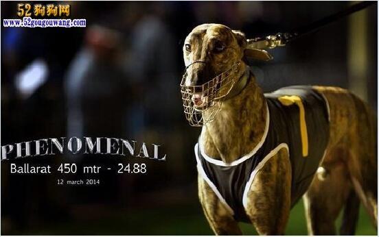 格力犬种公查询:近期有更新的格力犬种公介绍
