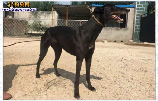 格力犬种母查询:近期有更新的格力犬种母介绍