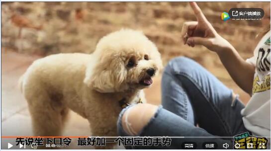 狗狗训练教程视频、三分钟教会你训练狗狗坐下!