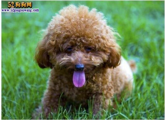 泰迪价格、2019年泰迪狗一般多少钱一只?