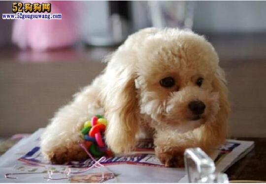 泰迪吃什么好?根据月龄选择适合的狗粮!
