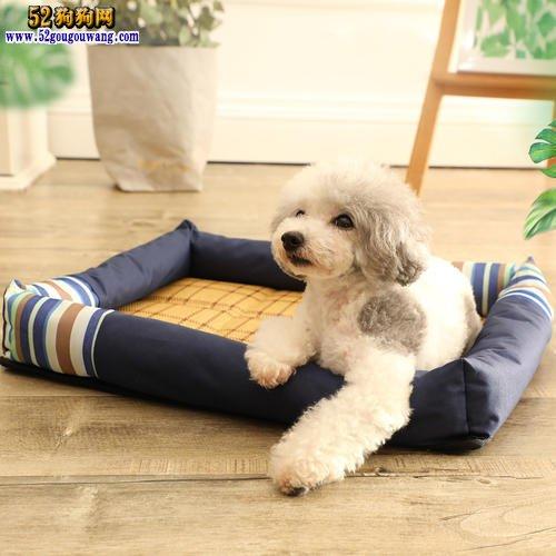 贵宾犬怎么养?刚到家的贵宾犬饲养注意事项!