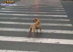养狗须知!宠物狗被车撞死了驾驶