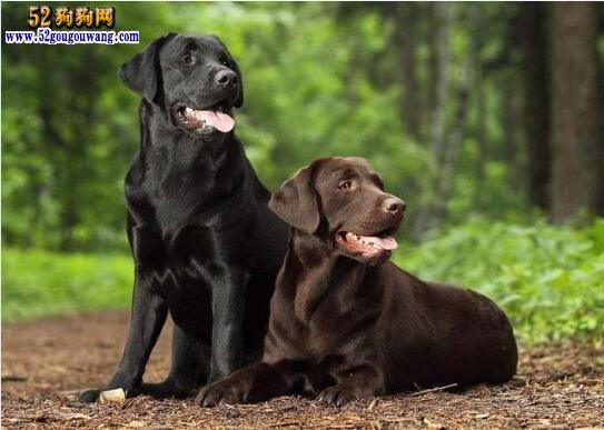 黑色金毛犬
