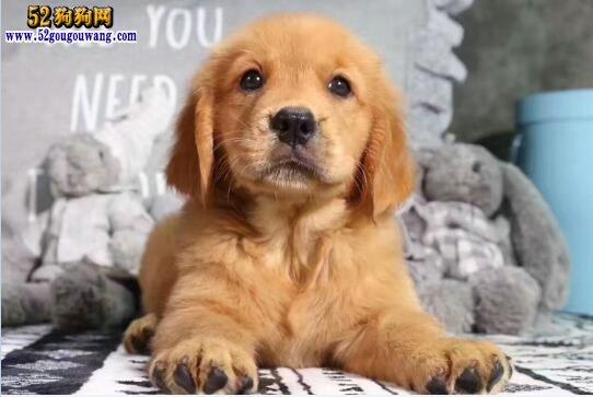 金毛犬报价、小金毛猎犬的价格多少钱一只?
