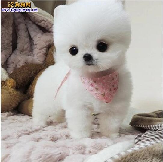 白色博美犬图片