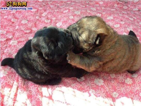 松狮幼犬图片
