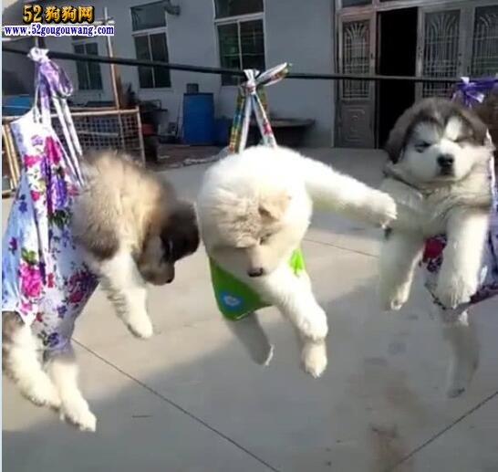阿拉斯加犬图片幼犬,看看可爱的呆萌阿拉斯加宝宝多可爱!