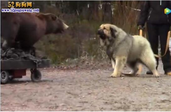 高加索犬视频、高加索犬VS棕熊测试结果还是比较满意!