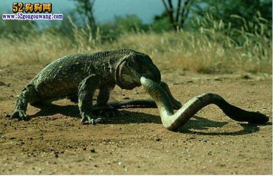 突发奇想!把可怕的狂犬病毒注射给科莫多巨蜥会怎样?