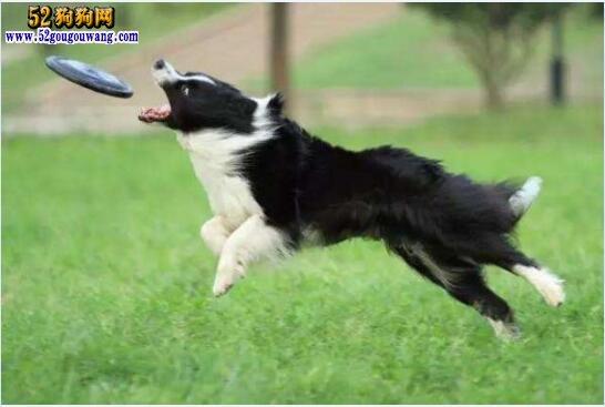 边境牧羊犬的训练方法