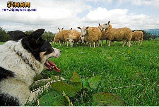 边境柯利牧羊犬多少钱?了解一下目前边牧价格行情!