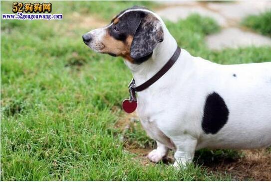 狗狗皮肤有肿块怎么办?脂肪瘤可能性大!看看如何预防!