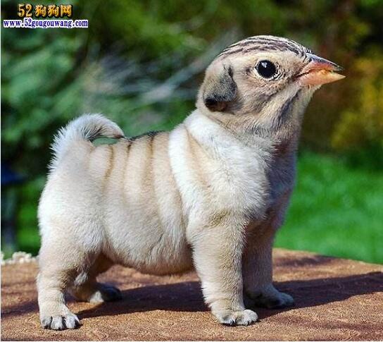 哈巴狗幼犬多少钱一只?