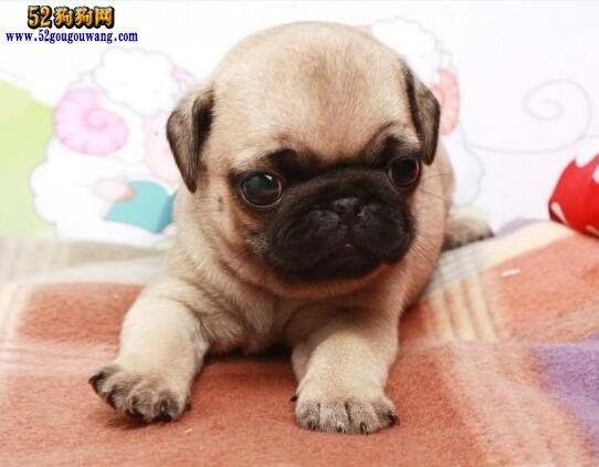 巴哥犬出售、八哥犬多少钱一只?