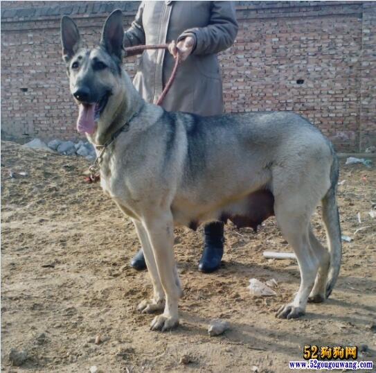 150斤的种公狼青图片、看看大型狼青有多大!