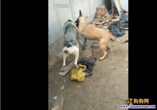 马犬和狼青打架视频、马犬vs狼青谁更厉害!