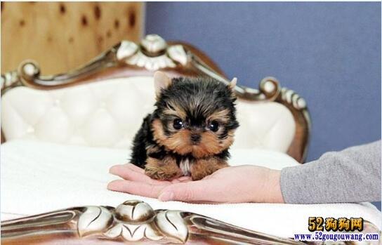约克夏犬价格、2020年约克夏梗多少钱一只?