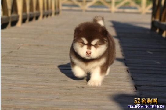 阿拉斯加犬价格、2020年阿拉斯加幼崽多少钱一只?