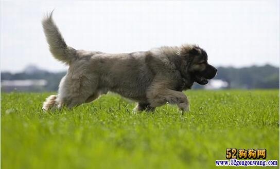 高加索犬价格、2020年纯种高加索多少钱一只?