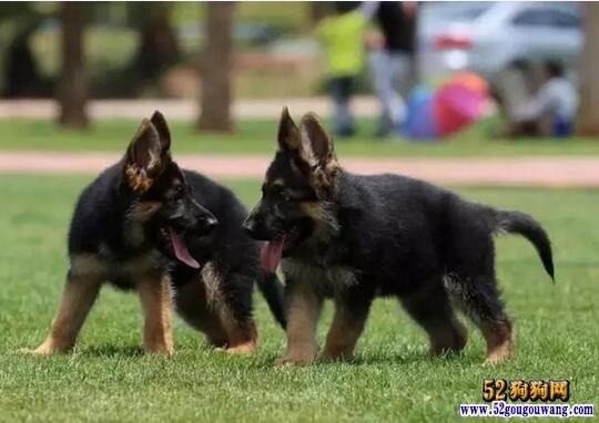 德国牧羊犬价格、2020年纯种德国牧羊犬多少钱一只?