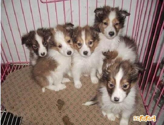 喜乐蒂犬价格、2020年纯种喜乐蒂犬多少钱一只?