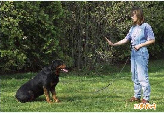 马犬训练、训马犬口令及手势图解!
