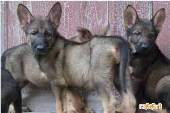 昆明犬价格、2020年昆明犬多少钱一只?