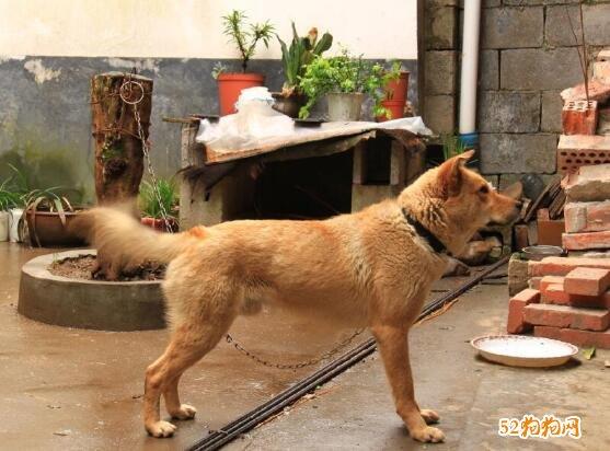 看家护院什么狗最好?不爱咬人的狗?