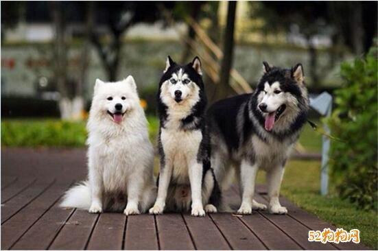 阿拉斯加雪橇犬价格、阿拉斯加幼犬多少钱一只适合?