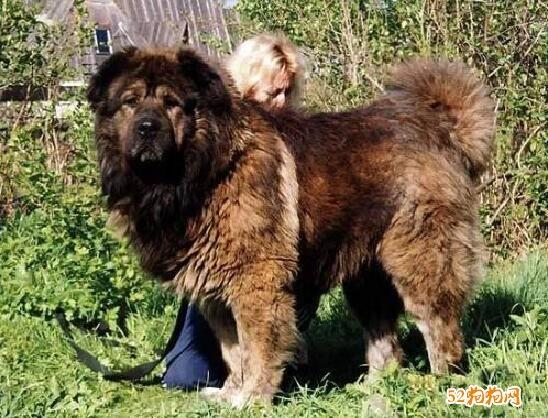 俄罗斯犬高加索、俄罗斯狗高加索是什么样的一种犬?