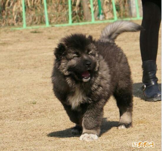 高加索幼犬图片、猛萌肥嘟嘟的高加索幼犬图片大全欣赏!