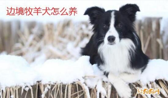 边境牧羊犬怎么养?养边牧的禁忌有哪些?