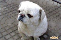 短毛京巴狗图片大全、看看所谓的短毛京巴好不好看?