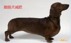 腊肠犬减肥、怎么帮助腊肠犬减肥成功?