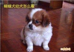 如何判断是蝴蝶犬幼犬?蝴蝶犬幼犬怎么看?