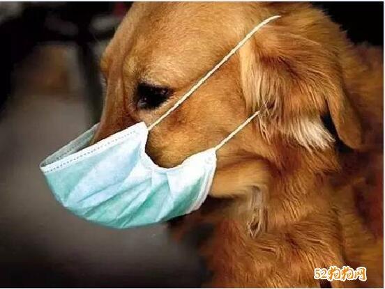 全球首例狗狗感染新冠肺炎:狗狗有没有必要出门戴口罩呢?