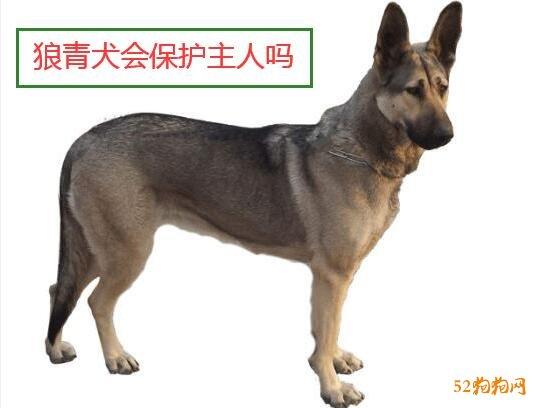 狼青犬会保护主人吗