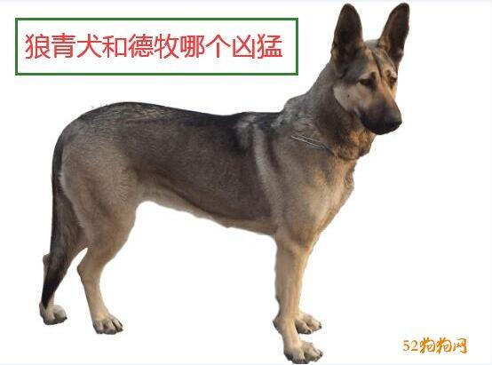 狼青犬和德牧哪个更加凶猛点