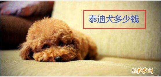 泰迪犬多少钱