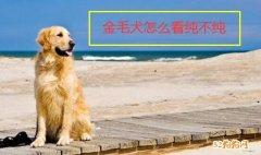 金毛犬怎么看纯不纯?小窍门分享!